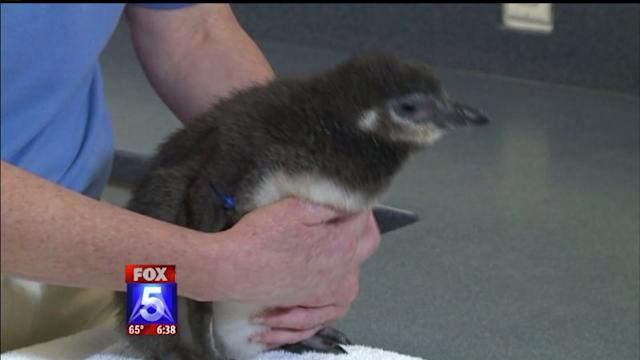 Penguins Born Using Artificial Insemination Born