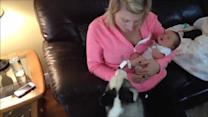 Piper the Husky meets Lily the newborn baby