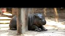 Adorable Baby Pygmy Hippo