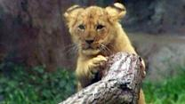 Lion cubs make debut at Seattle zoo