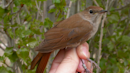 Climate change: Warming clips the nightingale's wings