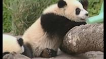 Giant pandas make comeback in China