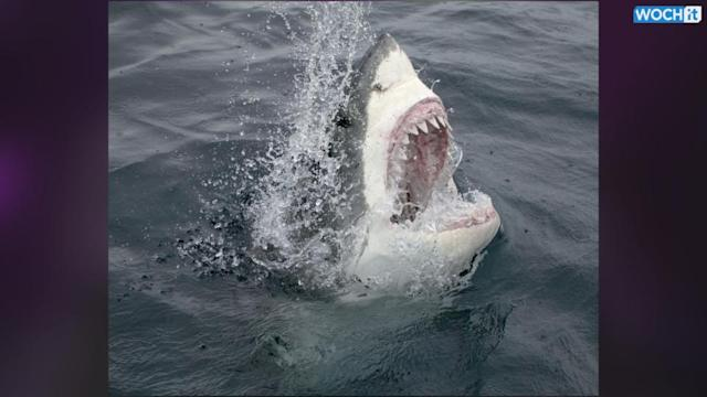 Despite More Great White Sharks, Attacks On Humans Rare