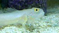 Sand Sifting Goby Shows Off His Food Filter