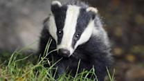 Badger Cull: 'Necessary For Health Of Cattle And Badgers'