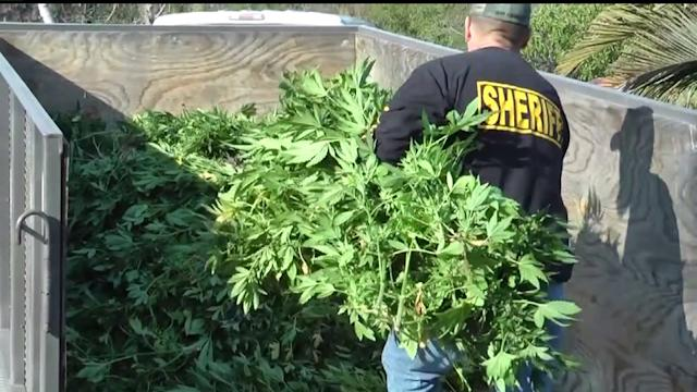 Deputies Raid North County Pot Plantation