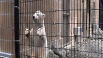 Polar Bear Cub Prepares for New Home in New York