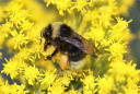 Bumblebee blues: Pacific Northwest pollinator in trouble
