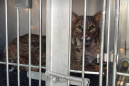 Bobcat rescued after being stuck in a car's grill for miles on Thanksgiving