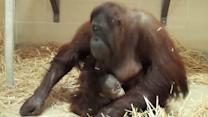 Baby orangutan finds new mom