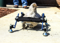 Vermont girl upset that 'SNL' poked fun at her wheelchair-bound pet chicken