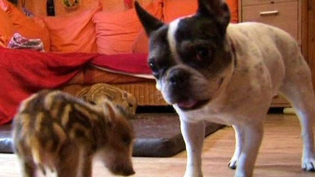 Bulldog Adopts Wild Baby Boars