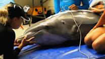 Dolphin undergoes airway expansion procedure