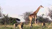 Mother Giraffe Protects Calf From Lions in Kenya