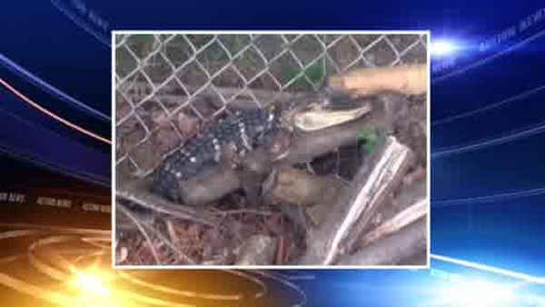 Girl finds alligator in Pennsylvania backyard
