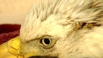Injured Bald Eagle Recovers In Noble