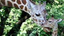 Brookfield Zoo welcomes newborn giraffe