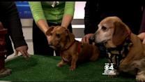 Pet Parade: Little Paws Dachshund Rescue