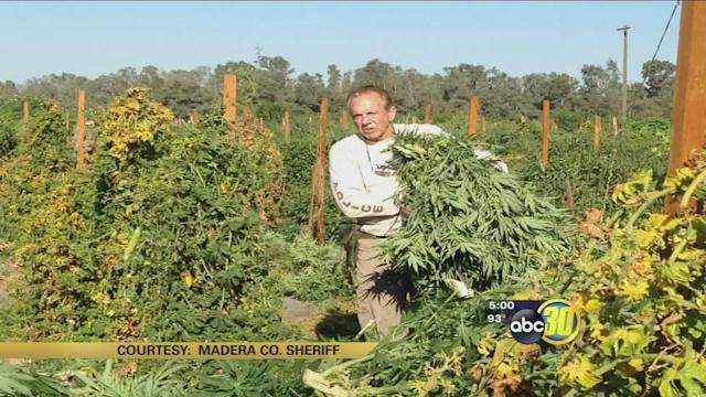 Madera Co deputies bust 17 acre marijuana grow