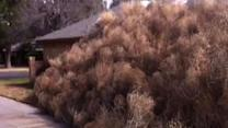 Tumbleweeds Invade West Texas Home