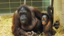 Baby Orangutan Finds Surrogate Mother After Multiple Moves