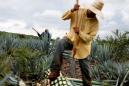 Mexican tequila makers, unlike brewers, plan to keep up production, exports