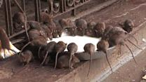 WTF- Divine Relation Between Rats and Human