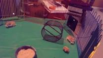 Hamster Nearly Squashes His Friend with Wheel