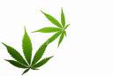 Better Buy: OrganiGram Holdings vs. Aurora Cannabis