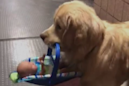 Police dog caught stealing children's Christmas toys in adorable video