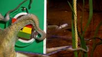 Oracle octopus predicts Ghana win against Germany