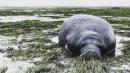 Beached Manatees Rescued From Low Tide In Wake of Hurricane Irma