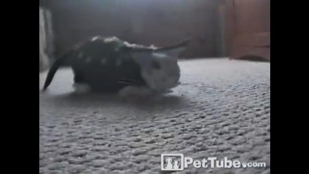 Rabbit Goes as Magic Cat