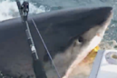 Great white shark lured to fisherman's boat in Jaws-like incident off Jersey Shore