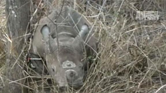 Baby Rhino Caught in Trap