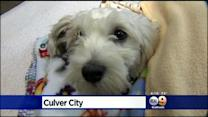 Gordo In Surgery As Doctor's Trive To Save Dog's Rear Leg