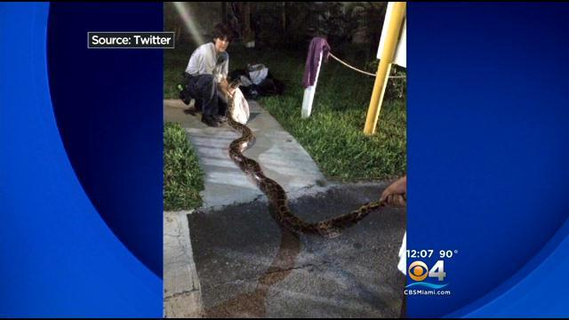 Miami-Dade Fire Rescue Venom Team Captures 12 Foot Python From BBQ Grill