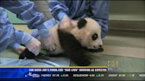 San Diego Zoo's panda cub Xiao Liwu growing as expected