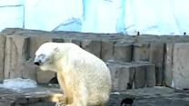 Brave Crow Irriatates Polar Bear