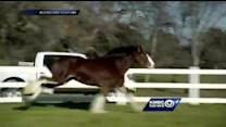 Baby Clydesdale from Super Bowl ad lives in Mo.