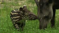 Raw: Prague Zoo Welcomes Baby Tapir
