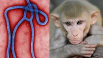Experimental Ebola Drug Cures Monkeys